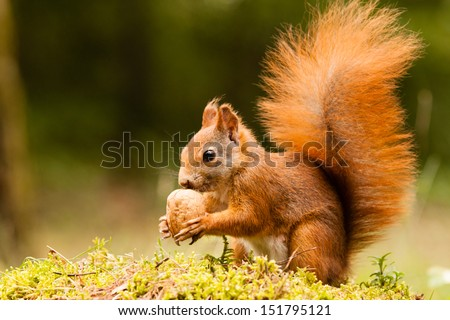 Squirrel with nut #151795121