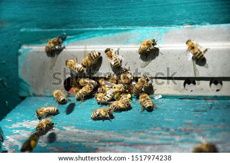 Honeybees entering hive. Bees at the entrance to the hive close-up on a blue background of the hive. Bees, beehive, beekeeping, honey production. Home apiary, selective focus. Close up of flying bees