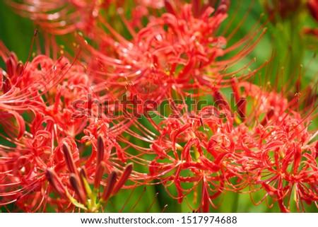 red cluster amaryllis of kinchakuda Hidaka city  #1517974688