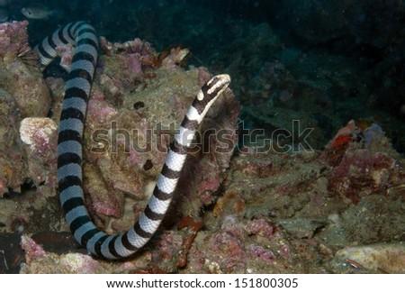 banded sea snake, yellow lipped sea krate #151800305