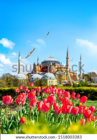 Tulips in Istanbul during Tulip festival, in Sultanahmet region with Hagia Sophia