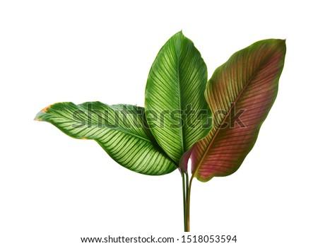 Calathea ornata (Pin-stripe Calathea) leaves, Tropical foliage isolated on white background, with clipping path                                  #1518053594