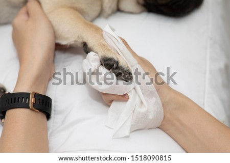 Close up woman hand clean and wash dog paw pug breed for cleanning around paw by tissue,Dog Care Concept Royalty-Free Stock Photo #1518090815