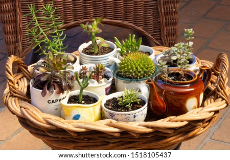 succulents potted in old cups, jug and tea pot on wicker tray in garden, alternative to plastic pots, recycle, upcycle and reuse for sustainable living #1518105437