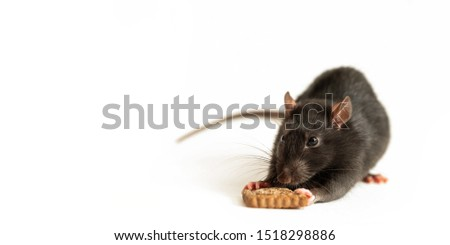 cute black rat eats a piece of cookie on a white background, close-up #1518298886