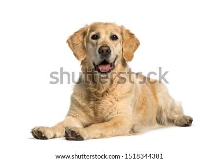 Golden retriever lying against white background #1518344381