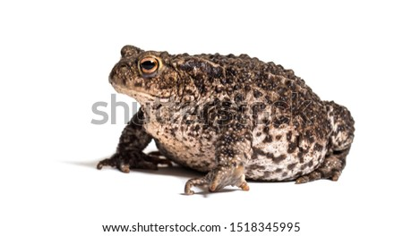 Common toad, European toad, or simply the toad, Bufo bufo, in front of white background #1518345995