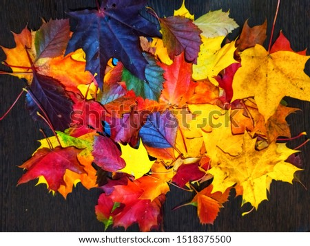 Beautiful bright multi-colored autumn leaves on a dark background.  Texture with autumn leaves. #1518375500