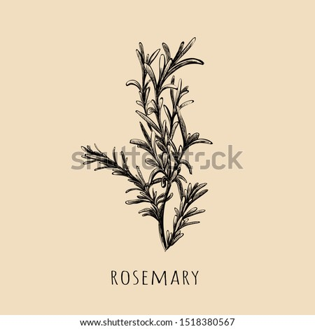 Rosemary hand drawing. Rosemary sketch vector illustration. Rosemary herbs and spices Royalty-Free Stock Photo #1518380567