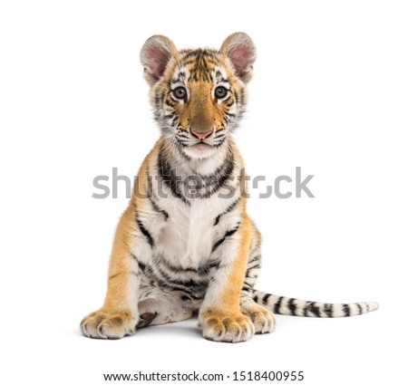 Two months old tiger cub sitting against white background Royalty-Free Stock Photo #1518400955