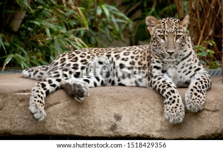 Leopard resting after a hot day #1518429356