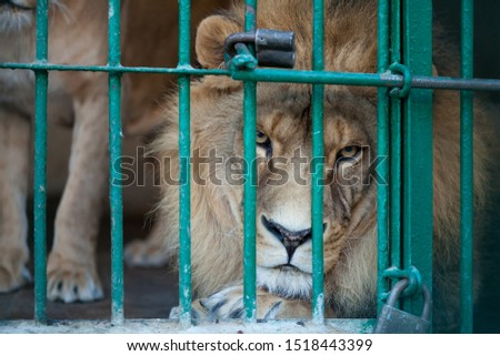 Lion in a cage at the zoo #1518443399