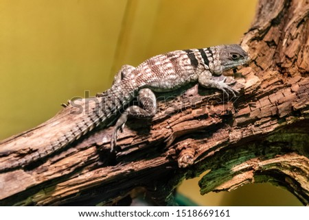 Oplurus cuvieri, commonly known as the collared iguanid lizard, collared iguana, Madagascan collared iguana, or Cuvier's Madagascar swift, is a species of arboreal Malagasy iguana #1518669161