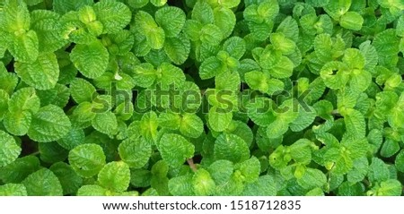 Green plant for background, Green Mint texture or mint background:Green left use for background : Green Leaves form natural. Fresh raw mint leaves. Mint leaves from garden.Combination of toothpaste. #1518712835