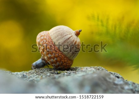 Fruit of an Oak tree ripe in autumn. acorn macro. background with acorn. Royalty-Free Stock Photo #1518722159
