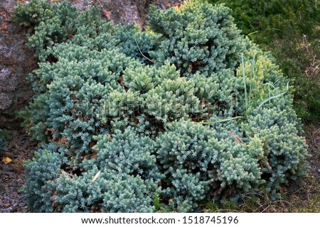 Juniperus squamata is a species of juniper native to the Himalayas. Blue Carpet Branches of Himalayan juniper with bluish green needles. Evergreens for landscape design. #1518745196
