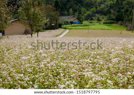 Field of buckwheat flowers at Ha Giang, Viet Nam. Ha Giang is famous for Dong Van karst plateau global geological park. Royalty-Free Stock Photo #1518797795