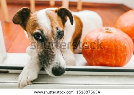 Dog lies on the floor with pumpkins #1518875654