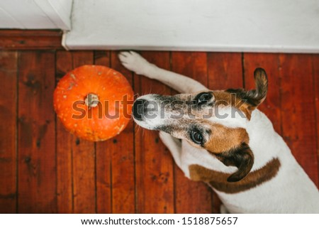 Dog lies on the floor with pumpkin #1518875657