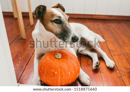 Dog lies on the floor with pumpkins #1518875660