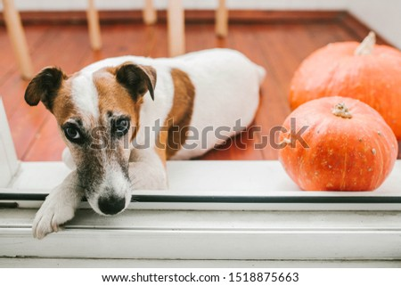 Dog lies on the floor with pumpkins #1518875663