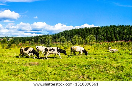 Cow herd grazing on summer pasture. Cows grazing on meadow. Cows grazing pasture scene. Cow herd on pasture #1518890561