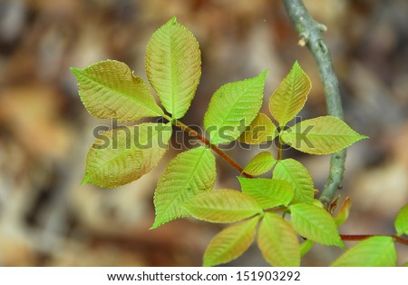 tender Green Leaves of poison ivy plant