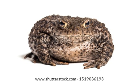 Common toad, European toad, or simply the toad, Bufo bufo, in front of white background #1519036193