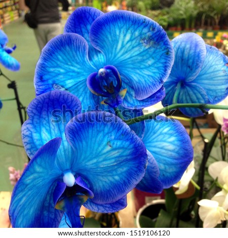 Macro Photo flower bud of a blue orchid.  Photo plant Beauty blooming orchid with blue and white buds petals
