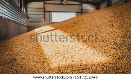 lots of tons of corn inside warehouse #1519252046