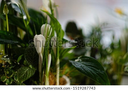Beautiful home plant with a white flower and buds in a flower pot. botany. close-up. macrocosm. home plants #1519287743