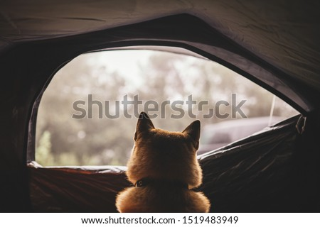 resting dog in campsite forest, close up outline tourist red shiba inu leisure in camp tent,  #1519483949