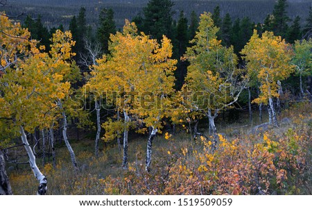 Horizontal view of aspen grove in autumn with yellow, gold, and orange leaves.  Shot in Rocky Mountain National Park, CO #1519509059