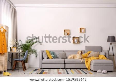 Modern living room interior. Cute Golden Labrador Retriever on couch #1519585643