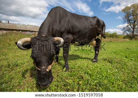 black cow grazing in a meadow at the edge of the forest, tied with a chain #1519597058
