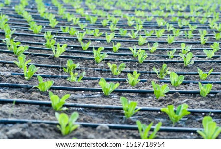 Romain seedlings planted under drip irrigation in the field. Agriculture concept Royalty-Free Stock Photo #1519718954