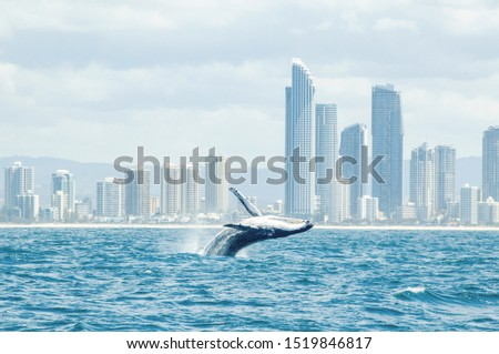 A whale jumping with the skyline in the background. Took this picture while I went whale watching in the Gold Coast, Australia.