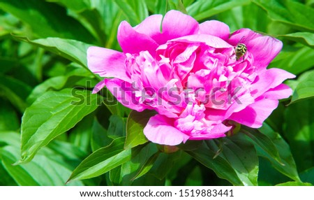 peonies a herbaceous or shrubby plant of north temperate regions, which has long been cultivated for its showy flowers. #1519883441
