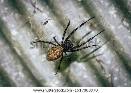 A black and brown colour spider is photographed close up, macro picture,Natural background,spider and spider web. Spiders are creating spider webs.
