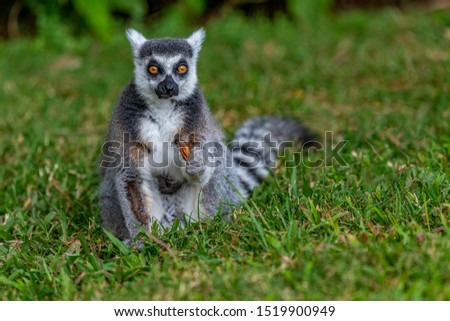 Ring-tailed Lemur looking straight ahead, holding a dry leaf. It has large, bright orange eyes, white face dark triangular eye patches, wet nose and protruding muzzle. Lemur catta. Bokeh background. #1519900949
