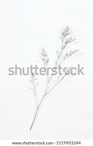 Dried Field Flower isolated on White Background with Real Shadow.  #1519903244