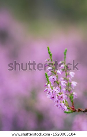 Lilac heather unfocused background copy space nature background #1520005184