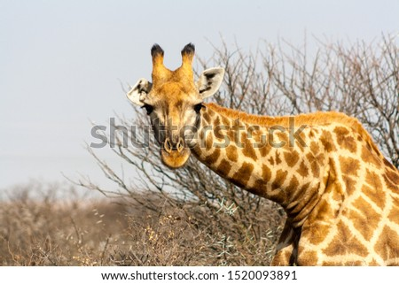 Giraffe staring at viewer with neck bent #1520093891
