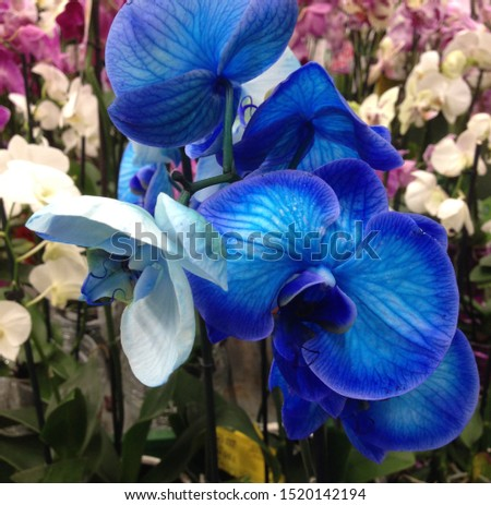 Macro Photo flower bud of a blue orchid.  Beauty blooming orchid with blue petals.