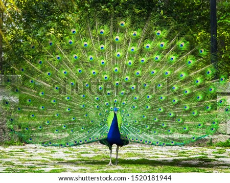 Peacock. Beautiful peacock. Peacock showing its tail #1520181944