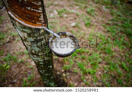 Tapping latex rubber tree, Rubber Latex extracted from rubber tree, harvest in Thailand. #1520258981