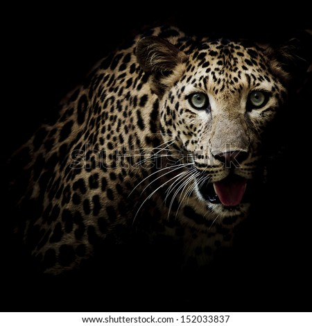 Close up portrait of leopard with intense eyes #152033837