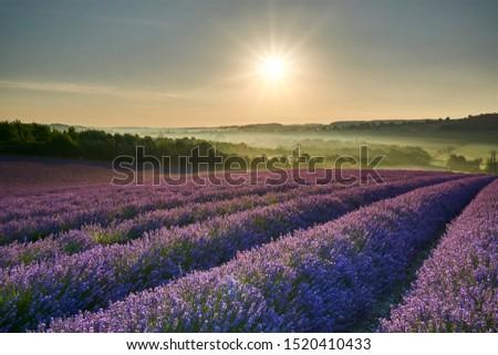 Sunrise over Lavender Fields near London in kent  #1520410433