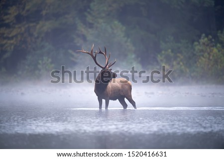 Bull Elk pauses in a stream on a misty morning. Royalty-Free Stock Photo #1520416631