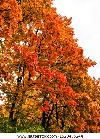 Autumn red maple tree branches. Autumn trees view. Autumn trees scene. Autumn maple trees view #1520455244
